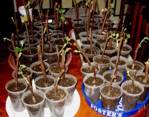 Как посадить виноград черенками весной – весенняя подготовка фото