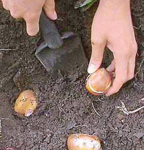 Посадка гиацинтов весной – правила высадки фото