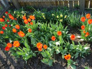 Фото тюльпанов в саду, mydiz.ru