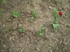 На фото - удобрение тюльпанов, plantus.ru