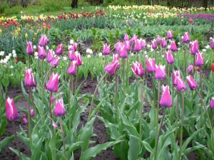 Фото тюльпанов, xn--80ahnajqy6av.xn--p1ai