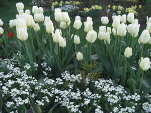 Фото тюльпанов на альпийской горке, supersadovod.ru