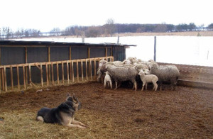 Фото сарая для овец, caodog.ru