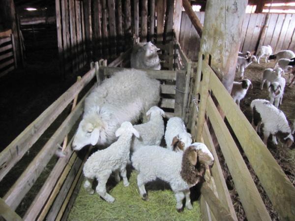 Овчарни для овец своими руками