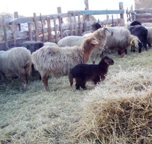 На фото - сено для овец, agroxxi.ru