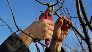 На фото - обрезка фруктовых деревьв, dacha5.ru