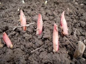 Как правильно посадить и пересадить пионы весной? фото