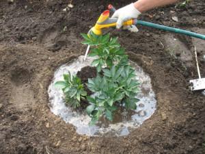Чем подкормить пионы весной – вносим удобрения