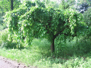 На фото - правильно обрезанное дерево шелковицы, domikpro.ru