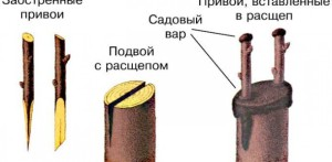Фото рисунка прививки шелковицы, umeivse.ru