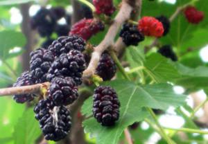 Фото ягод шелковицы, kumushka.com