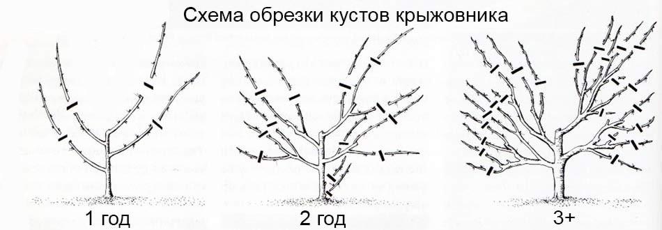 Схема обрезки кустов крыжовника по возрасту