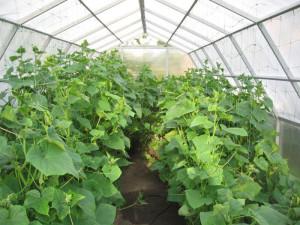 На фото - выращивание огурцов в теплице, parnik-teplitsa.ru