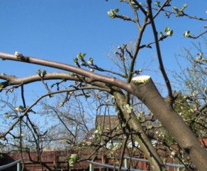 На фото - обрезка плодовых деревьев, prorozy.com