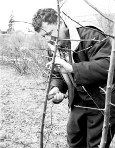 На фото - обрезка молодых деревьев, hozvo.ru