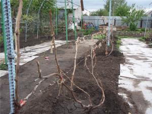 На фото - виноград после зимы, liveinternet.ru