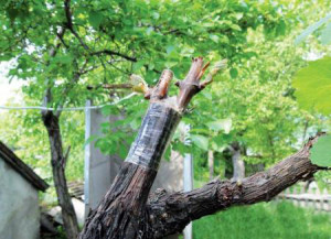 На фото - прививка винограда весной, vinograderu.ru