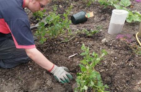 На фото - посадка крыжовника весной, agroazbuka.com