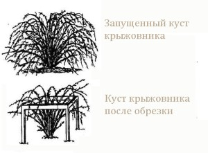 Фото обрезки крыжовника, suncluster.ru