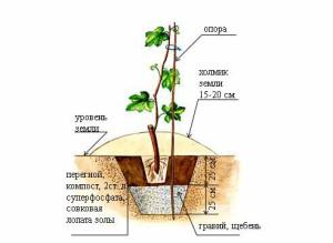 Посадка саженцев винограда весной – место и подготовка почвы