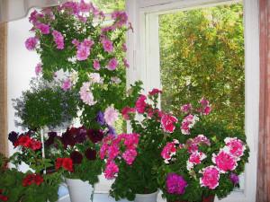 На фото - как вырастить из семян пеларгонию, webgarden.livejournal.com