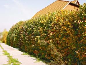 На фото - натуральная живая изгородь, 4gazon.ru