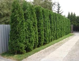 Фото хвойной живой изгороди, trimmeri.com