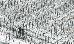 Фото зимней прививки винограда, eniw.ru