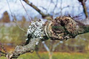 Фото бактериальных болезней плодовых деревьев, alevur.ru