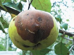 Фото плодовой гнили, weerkust.ru