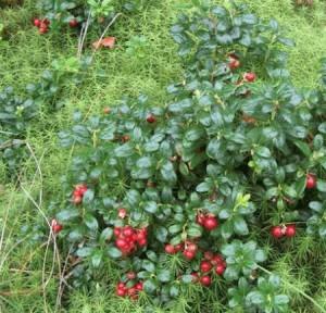 На фото - выращивания брусники, zdorovyj.com