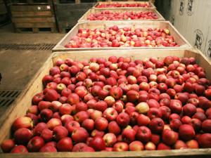 Создаем нужные для хранения яблок условия фото