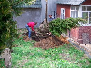 На фото - посадка хвойных деревьев, ecospro.ru