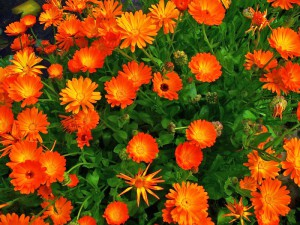 Фото цветков календулы, liveinternet.ru