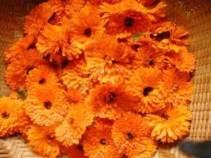 Фото сбора цветков календулы, fb.ru