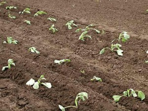 На фото - грунт для капусты, 12sotok.spb.ru