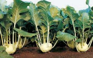 На фото - выращивание кольраби, agroazbuka.com