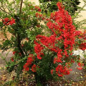 На фото - вьющиеся растения для беседки, urozhai.com