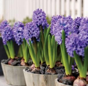 На фото - луковичные цветы, eurosyst.ru