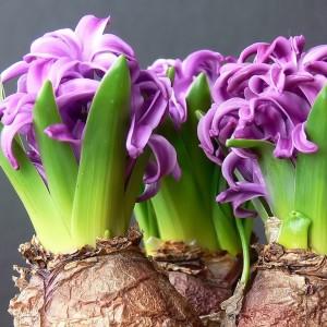 Фото луковицы цветов, flowers.cveti-sadi.ru