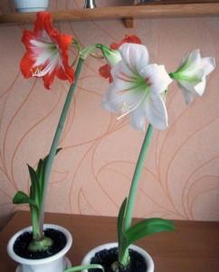 Фото ухода за луковичными цветами, goldofparadise.eu