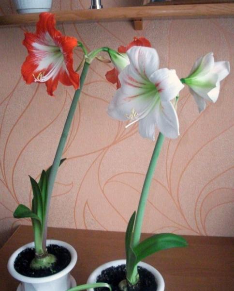 Комнатные цветы с луковичные