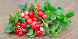 Брусника – лечебные свойства листьев и ягод