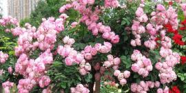 Плетистая роза – посадка и уход для развития растений