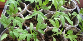 Посадка семян томатов на рассаду – премудрости подготовки
