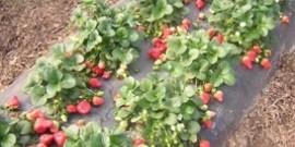 Удобрение для клубники весной или как сделать ягоды еще вкуснее?