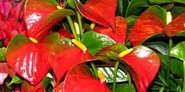 Цветок антуриум: уход и борьба с вредителями