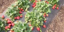 Выращивание клубники в открытом грунте – отменный урожай с огорода!