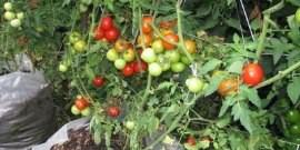 Выращивание помидоров в открытом грунте – секреты урожая!