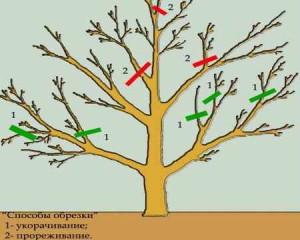 Фото способов обрезки садовых деревьев, largegarden.ru